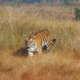 Safari Mencari Harimau di India